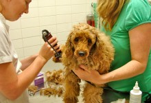 tillie being shaved by vet