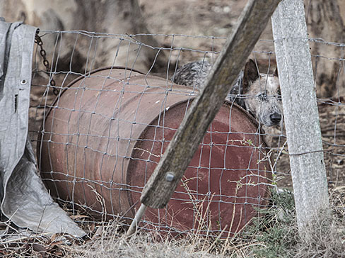 Chained to the overturned barrel she calls home